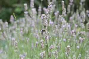 Lavender Cottage,Bee in Lavender