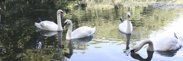 Swans on Tehidy Lake